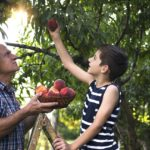 Grandfather and grandson picking peaches from a tree