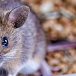 mouse near grain bowl